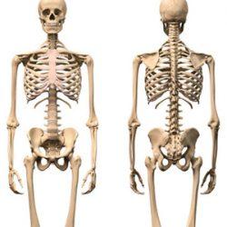 Esqueletos y huesos humanos