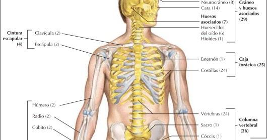 caja torax cuerpo